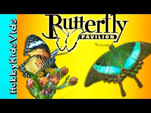 Butterflies Everywhere! HobbyTiger Vacation Trip To Butterfly Pavilion by HobbyKidsVids