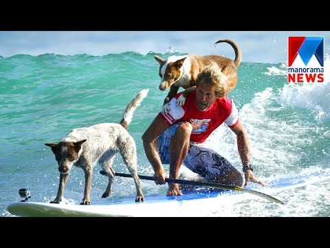 The dogs ride the waves at a surfing competition held in California  | Manorama News