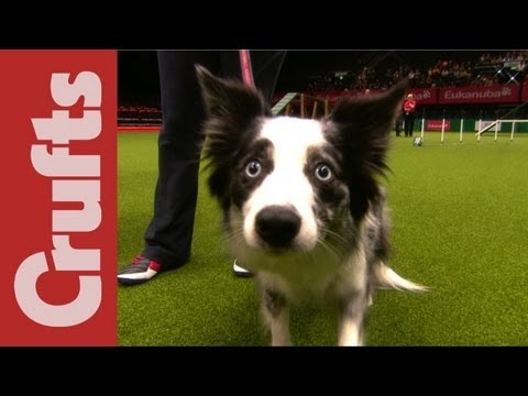 Thumbnail: Funniest Moments of Crufts 2012