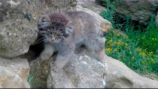 pallas cat kittens the short version©