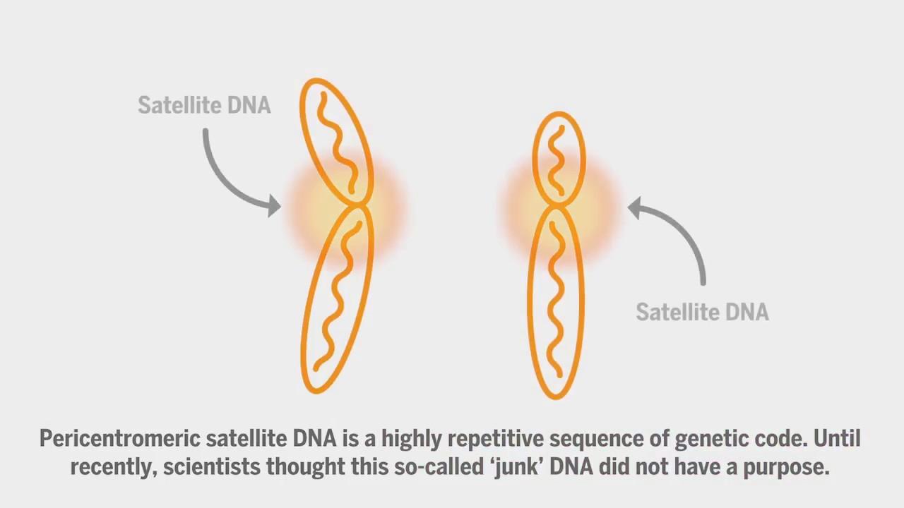 Çöp DNA düşünüldüğü gibi gereksiz değil - Bilim.org
