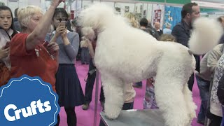 The Standard Poodle | Crufts Breed Information