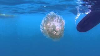 Фотограф на Самуи - опасные медузы(Небольшой видеоклип с опасными ядовитыми медузами в водах Таиланда. Окрестности Самуи и Пангана, видео..., 2014-11-05T10:21:34.000Z)