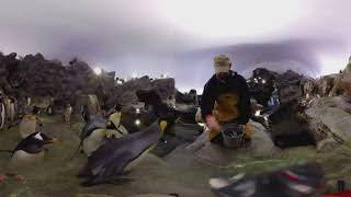 Penguins at the St. Louis Zoo (3D 360 Video)