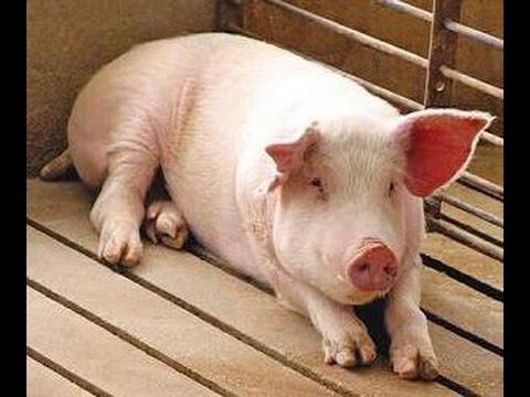 El Cerdo como animal doméstico - MUNDO ECOLOGICO