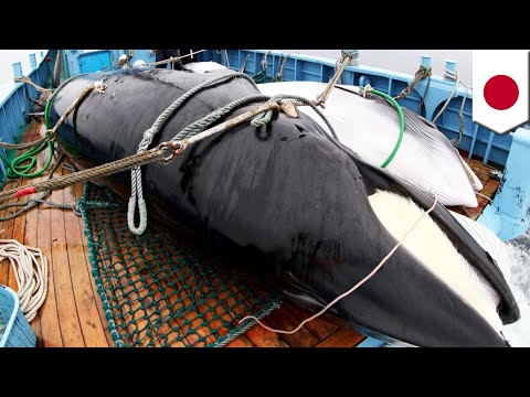 Japan Resumes Commercial Whaling After 31 Years- TomoNews