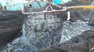 【衝撃映像】2000メートルの網で海の魚を一網打尽にしてみた!
