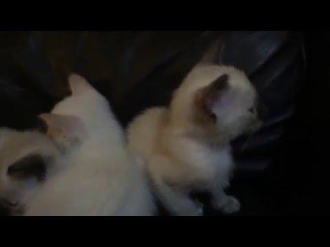 Gorgeous Pedigree Siamese Kittens