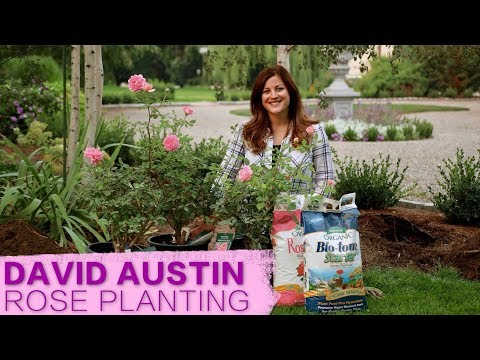 David Austin Jubilee Celebration Rose // Garden Answer