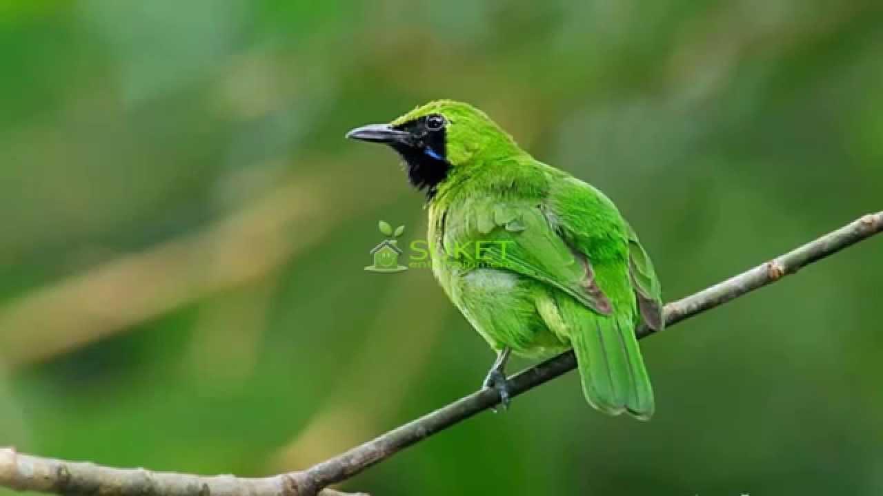 Yang dimaksud dengan suara master alami disini adalah memaster burung. Suara Burung Masteran Cucak Hijau Mini Variasi - YouTube