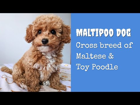 Maltipoo Dog - An Awesome Cross of Maltese and a Toy Miniature Poodle | Dog Lovers