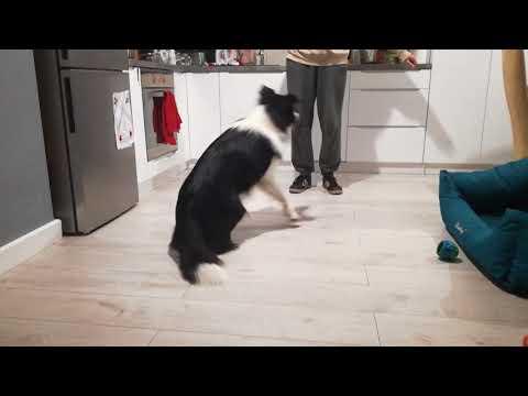 Border collie dog training ep.4
