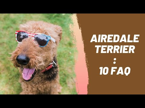 Airedale Terrier : 10 Most Common Questions