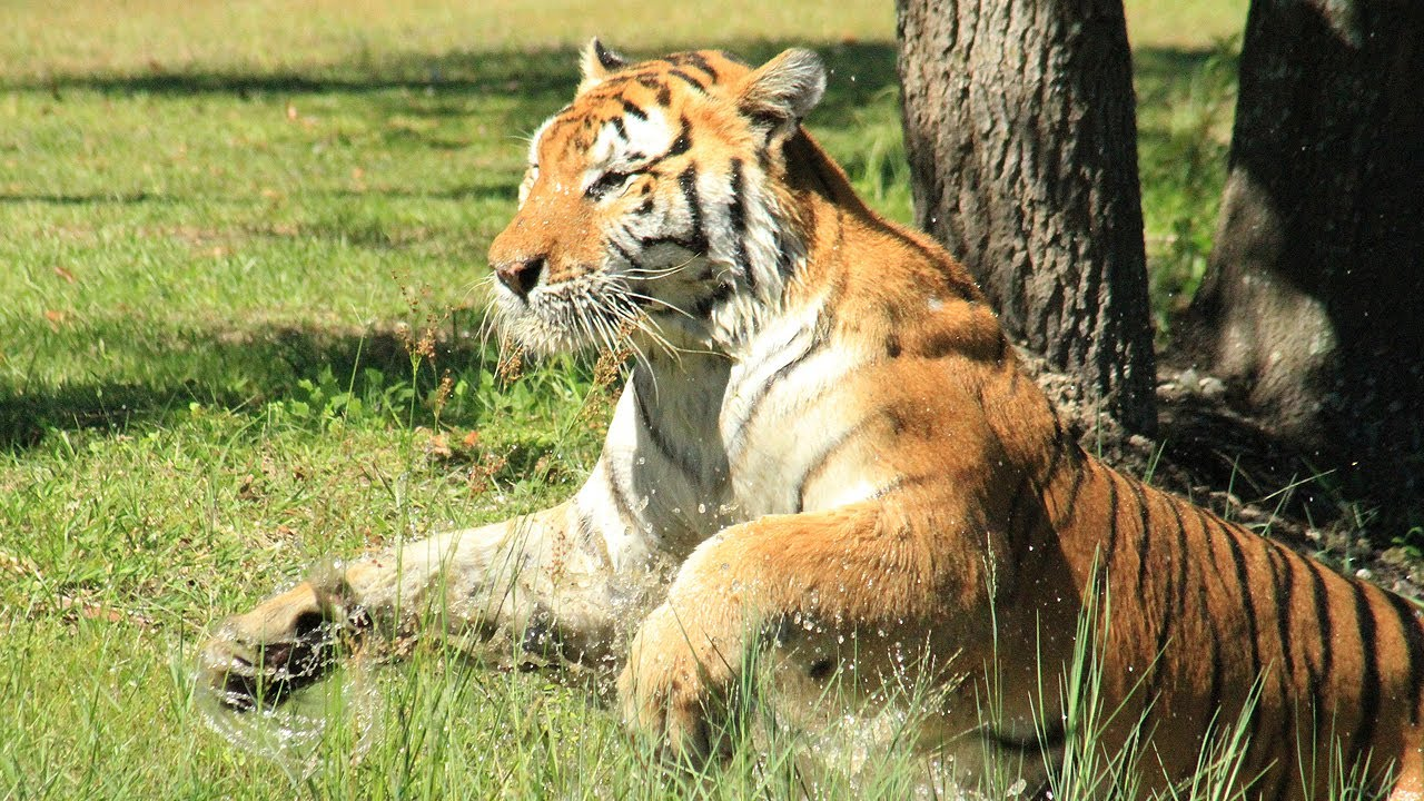 Tiger Big Cat Rescue