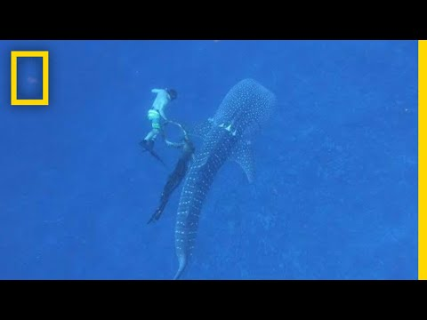 Watch A Free-Diver Rescue This Entangled Whale Shark | National Geographic