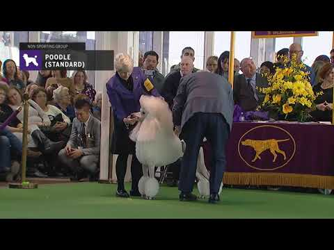 Poodles (Standard) | Breed Judging 2019