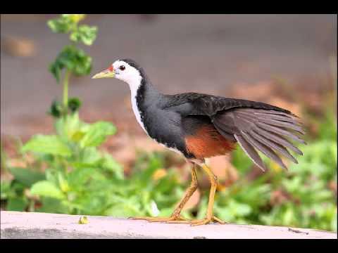 Mp3 Burung Ruak Ruak