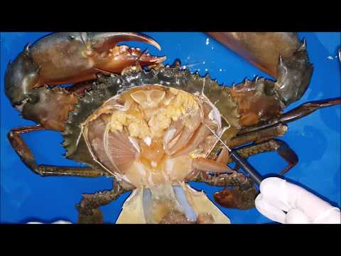 Anatomy Of A Male Mud Crab (Scylla Sp) With Step By Step Dissection