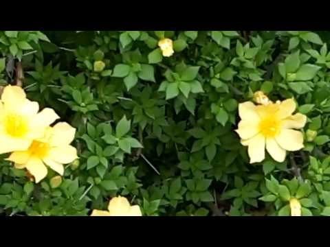 441 beautiful flowering vine as a fence for your garden 5717 441 beautiful flowering vine as a fence for your garden 5717 mightylinksfo