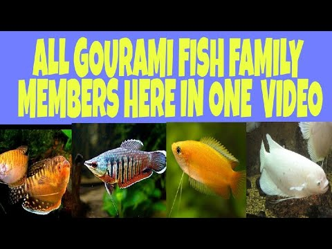 All Types Of Gourami Fish