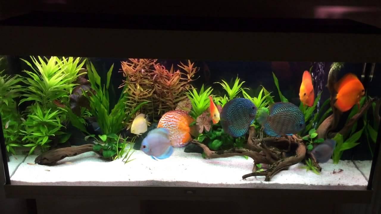Juwel rio 240 aquarium fish tank - Juwel Rio 240 With Discus Fish