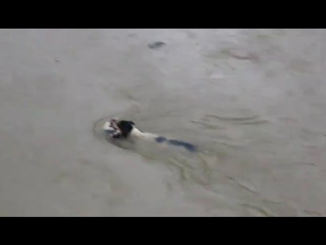 The Street Dog Save Her Puppies in Chennai Flood