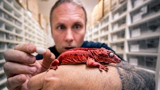 DEADPOOL GECKO EGGS!! MOST EXCITING REPTILE EGGS OF THE YEAR!! | BRIAN BARCZYK