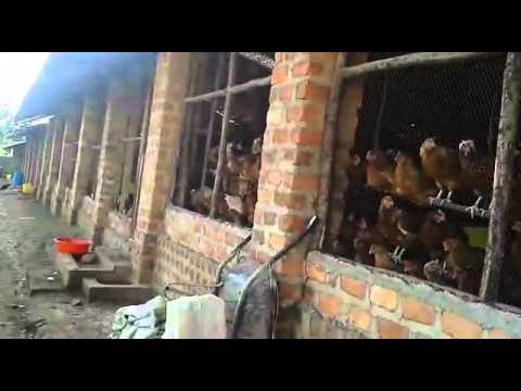 Poultry Farming In Africa Chicken FREEDOM Enkoko Kuku