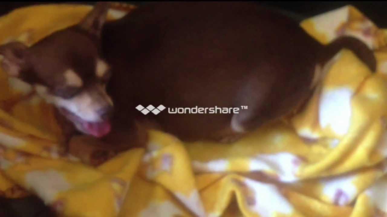 Parto De Chihuahua Madre Primeriza Así Nacen Los Perritosdar A Luz Lakhsmi