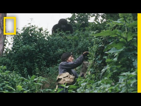 Gaining the Trust of the Gorillas | Dian Fossey: Secrets in the Mist