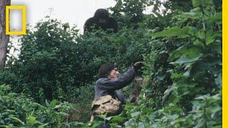 Gaining the Trust of the Gorillas | Dian Fossey: Secrets in the Mist