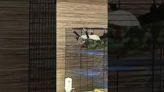 Крысы дамбо обнимаются
