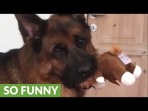 German Shepherd has priceless reaction to crying puppies