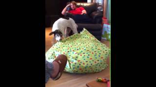 Our German Shorthair Pointer Opening Her Present