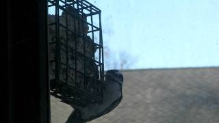 A Free Of Charge Pet, Hairy Woodpecker, Central New Jersey.