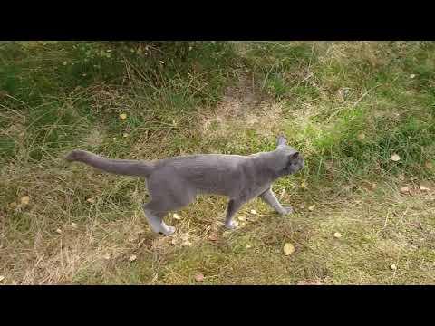 Caspian a Russian blue cat comes running