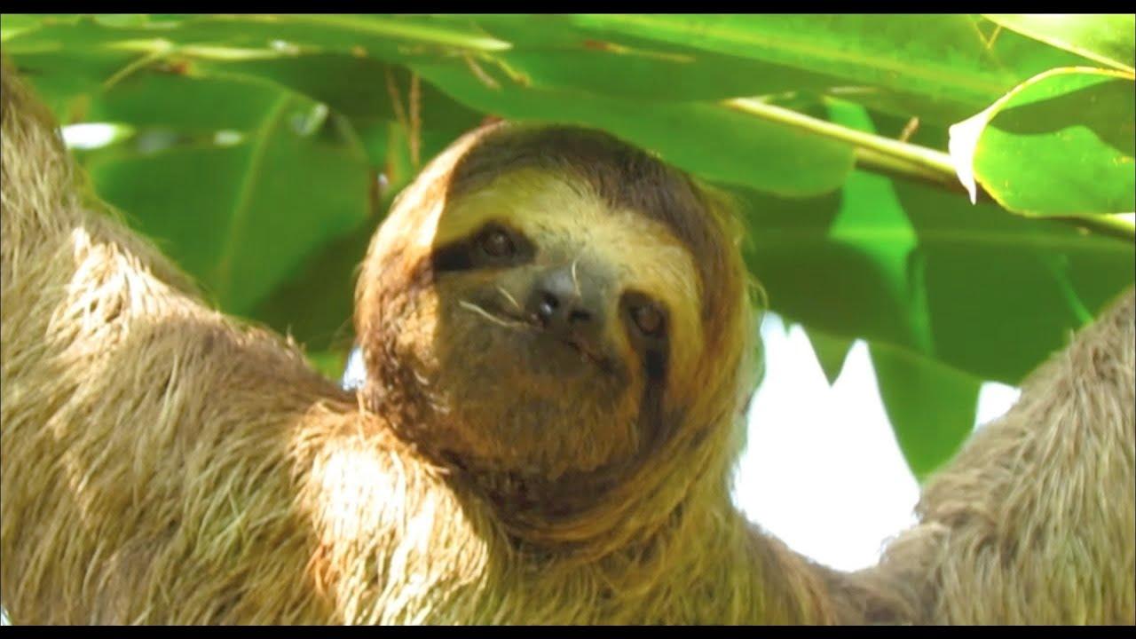 SLOTH - FAULTIER - Wildlife Costa Rica - PARTYANIMAL´S ...