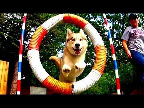 Siberian Husky Dog Agility SLOW MOTION - GoPro Hero2 HD