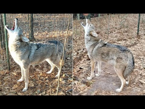 Coyote Named Scooter - 142 - Howling At Ambulance Sirens