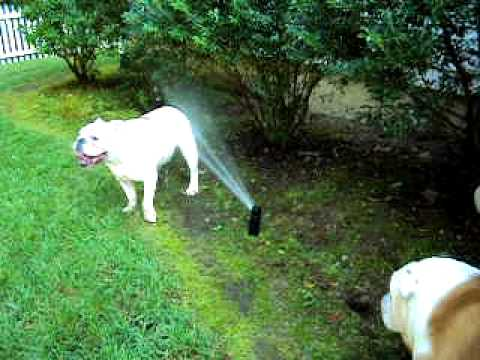 English Bulldogs Bubba & Buffy Take A Drink On A Hot Summers Day!!