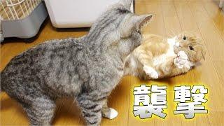 猫が寝込みを襲われる - the cat is attacked in her relaxing time - thumbnail
