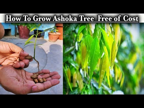 how-to-grow-ashoka-tree-or-saraca-asoca-tree-from-seeds-in-the-monsoon-season-free-of-cost