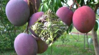 Under The Mango Tree By Tony Harrop