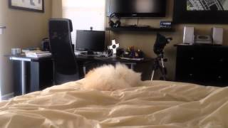Funniest Puppy video ever. How to Potty Train a Maltese