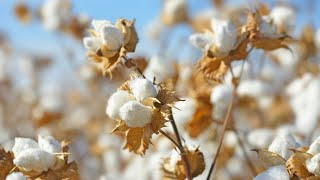 Challenges Ahead for California Pima Cotton   CoBank Knowledge Exchange Brief