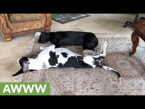 Great Dane & puppy love to cuddle up together