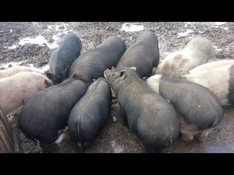 Вьетнамские свиньи. Плюсы и минусы. Особенности