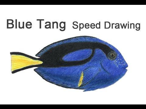 Regal Blue Tang Fish Time-lapse (Speed) Drawing