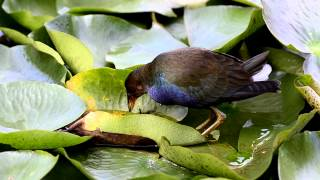 Caimão-americano - American purple gallinule - (Porphyrio martinicus)