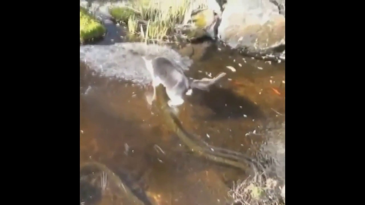 Funny cat chaising koi fish on a frozen pond youtube for Koi pond freezing